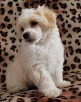 Foto 2 Chinesischer Schopfhund (Chinese Crested Dog) Welpen.