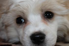 Foto 4 Chinesischer Schopfhund (Chinese Crested Dog) Welpen.