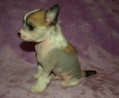 Chinesischer Schopfhund/Chinese crested dog