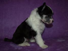 Foto 2 Chinesischer Schopfhund/Chinese crested dog