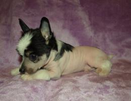 Foto 4 Chinesischer Schopfhund/Chinese crested dog