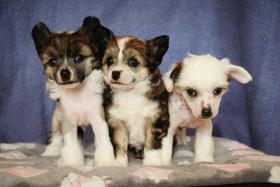 Foto 3 Chinesischer Schopfhund mit Papiere
