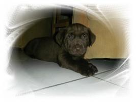 Foto 2 Chocolate Labradorwelpen