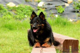 Foto 2 Chodenhund (Chodsky pes) mit Papiere