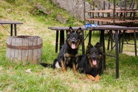 Foto 4 Chodenhund, Tschechische Nationalrasse