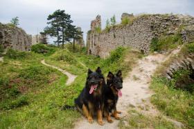 Foto 5 Chodenhund, Tschechische Nationalrasse
