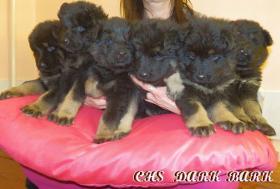 Chodsky dog - puppies