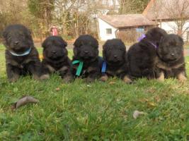 Foto 2 Chodsky dog - puppies