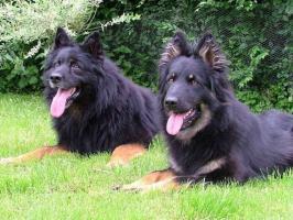 Foto 3 Chodsky dog - puppies