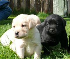 Choko Blond und Schwarz Labrador Welpen