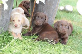 Foto 2 Choko Blond und Schwarz Labrador Welpen