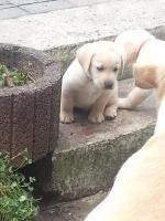 Foto 4 Choko Blond und Schwarz Labrador Welpen