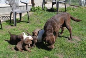 Foto 5 Choko Blond und Schwarz Labrador Welpen