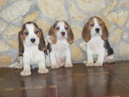 Chow Chow, Beagle und Englisch Bulldog Welpen