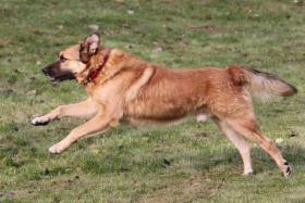 Foto 3 Chris ist ein Schäferhund-Mischling mit treuem Blick