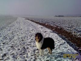 Foto 2 Collie Jungr�de