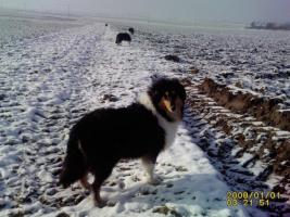 Foto 3 Collie Jungr�de