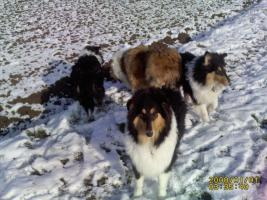 Foto 4 Collie Jungr�de