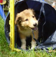 Collie Welpen, Familien-und Sporthunde