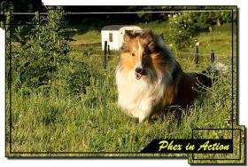 Foto 7 Colliewelpen mit Papiere WT 17.09.2011 in tricolor