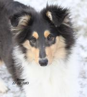 Colliewelpen - 1 süsser Collie ..(VDH /CfbrH ) in tricolour