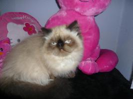 Foto 2 Colourpoint Langhaar-Kätzchen