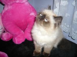 Foto 3 Colourpoint Langhaar-Kätzchen