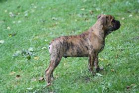 Foto 3 Continental Bulldog