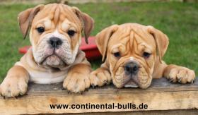 Continental Bulldog Zucht  - VDH