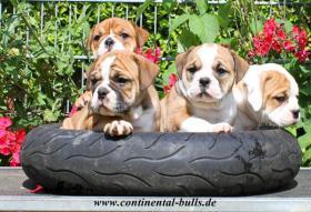 Foto 3 Continental Bulldog Zucht  - VDH