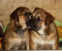 Foto 2 Continental Bulldogs vom Rhönkennel