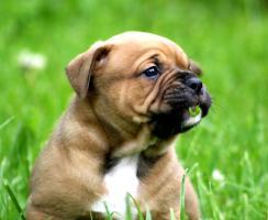 Continental Bulldogs vom Rhönkennel