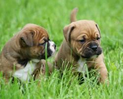 Foto 5 Continental Bulldogs vom Rhönkennel