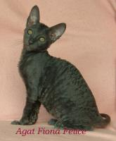 Foto 3 Cornish Rex