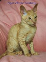 Foto 4 Cornish Rex