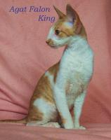 Foto 5 Cornish Rex