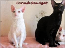 Foto 2 Cornish Rex reinrassige Kitten sofort mit nehmen !