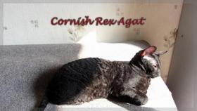 Foto 3 Cornish Rex reinrassige Kitten sofort mit nehmen !