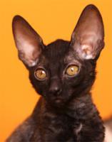 Foto 2 Cornish Rex - Kätzchen  mit Papiere