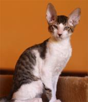 Foto 3 Cornish Rex - Kätzchen  mit Papiere