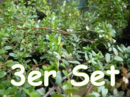 Cranberry Pflanzen - Sparset!