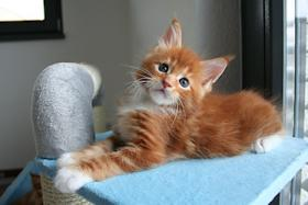 CuddlyType Maine Coon Kitten
