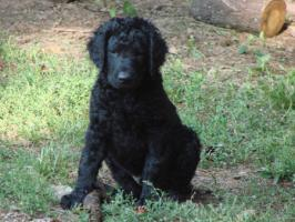 Foto 4 Curly coated retriever