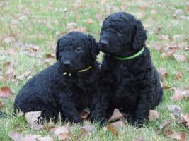 Curly coated retriever FCI Welpen