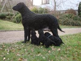 Foto 2 Curly coated retriever FCI Welpen