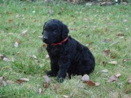 Foto 4 Curly coated retriever FCI Welpen
