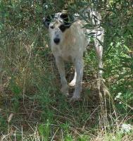 Foto 5 Curro, ein 5jähriger charmanter Bodugero Mischling hofft geliebt zu werden