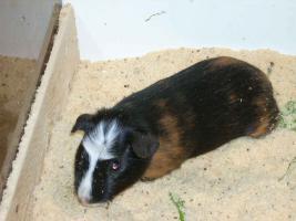 Foto 3 Cuy-Jungtiere  ( peruanische Riesenmeerschweinchen )
