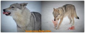 Foto 3 Czechoslovakian wolfdog with paper