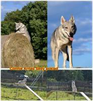 Foto 4 Czechoslovakian wolfdog with paper